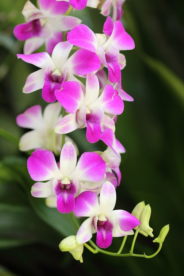 Dendrobium Orchids Or Dens Are Sometimes Likened To Bamboo Stalks Because The Bamboo Dendrobium Dens L In 2020 Dendrobium Orchids Growing Orchids Green Orchid