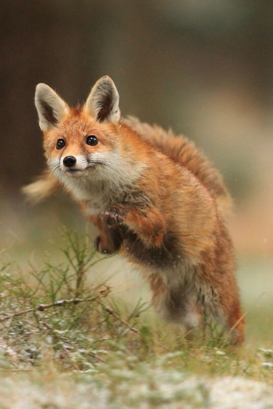 ** Animal activists are struggling to ban fox hunting in Britain where beautiful, sweet creatures such as these are chased down in terror to their eventual death by imbecile men on horseback and packs of baying hounds. Tradition is hard to break - let's pray that tradition in this sense be broken for eternity!