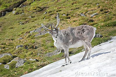 Google Image Result for http://www.dreamstime.com/young-wild-reindeer-in-arctic-tundra-spitsbergen-thumb20859500.jpg