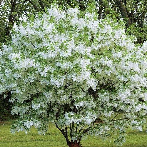 Image Result For White Fringe Tree Chionanthus