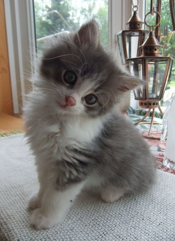 Posing for the camera. #kitten #pets