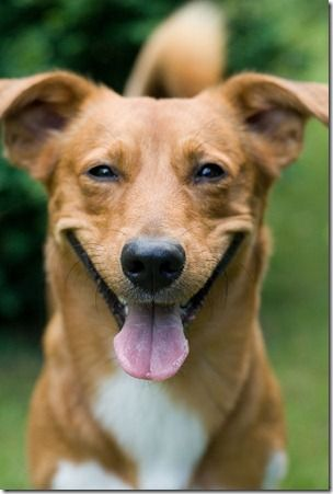 Cães sem raça definida - Pesquisa Google