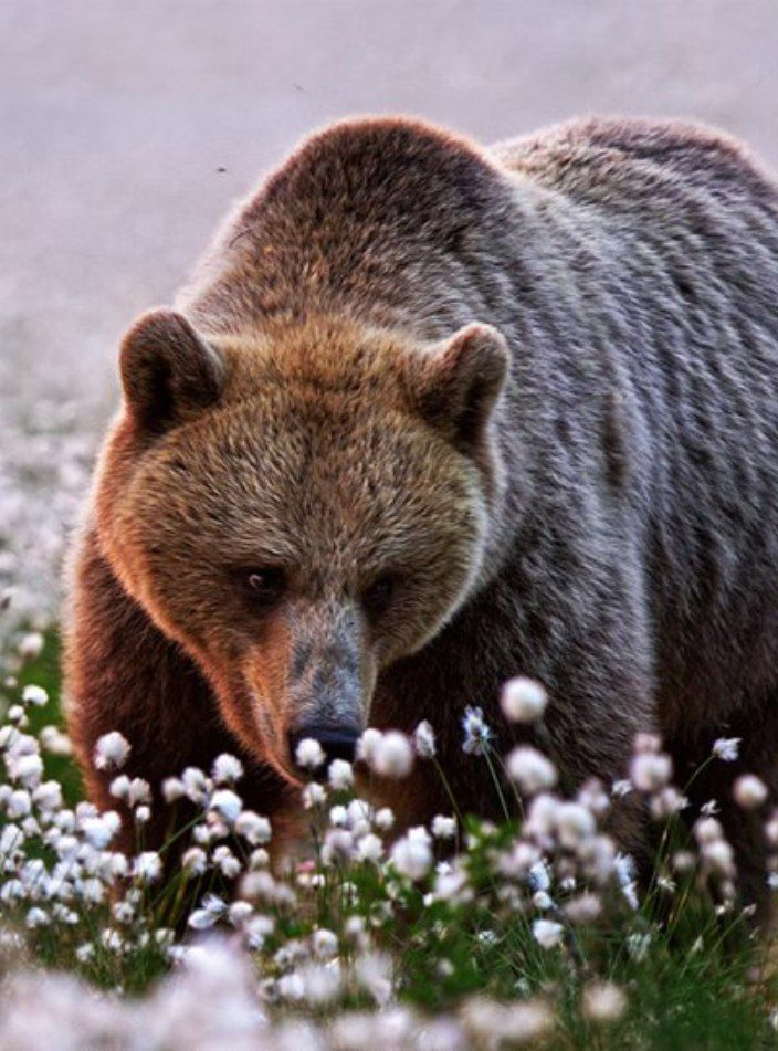 bear taking time to smell the floers
