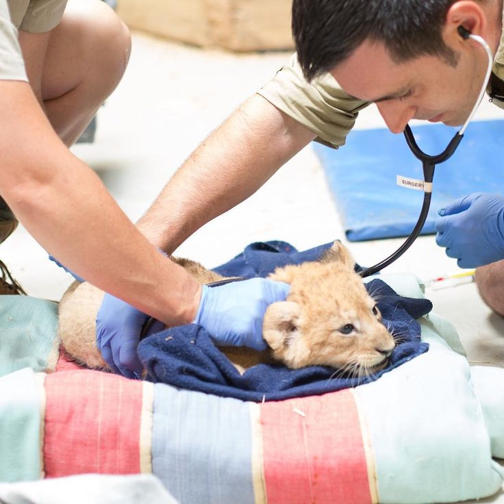 We've got exciting news! The seven-week old lion cubs at Werribee Open Range Zoo have passed their first check-up with flying colours and in further good news we were able to determine their sex - 2 boys and 2 girls!