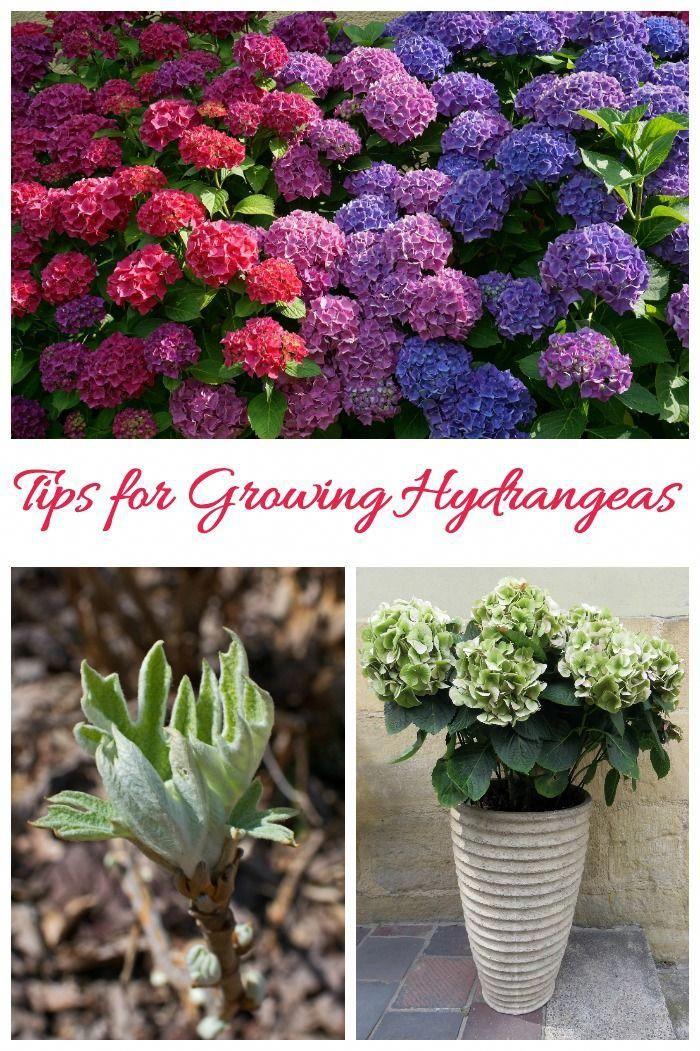 6 Month Baby Food Tips In Hindi Foodjournaltips Code 2553022933 Gardeningtipsseattle Hydrangea Care Beautiful Flowers Garden Growing Hydrangeas