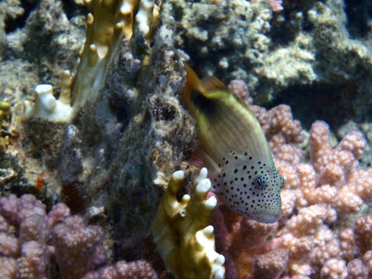 Blackside Hawkfish_juvenile_2
