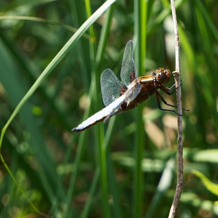 Libelle auf der Sophienhöhe #insect #dragonfly #closeup #nature #travel #hiking #wanderlust #spring #photographer #potd #pictureoftheday #awesome #art #sonyalpha #sonyalpha5000 #sel55210 #keinsinn