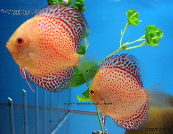 Rare discus fish types of discus fish advice on rare for Discus fish types