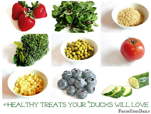 Although ducks enjoy many of the same treats as chickens, over the years I have watched to see the foods that seem to be their favorites. Ducks can eat a wide variety of fresh, raw and cooked fruits and vegetables, whole grains and meat/fish, and a varied diet not only makes life more interesting fo