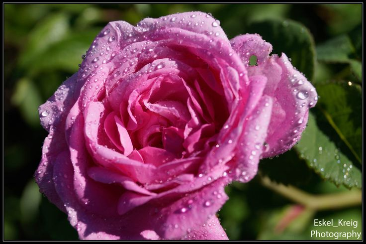 Pink water rose by EskelKreig on DeviantArt