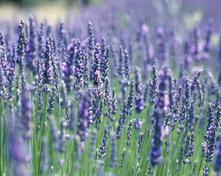 French Lavender (Lavandula Dentata Candicans)