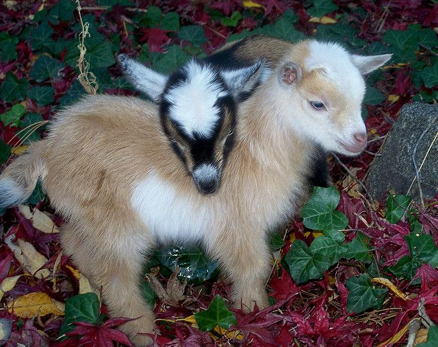 Nigerian Dwarf Goats!!! Ilove these babies, my little dwarf is currently preggo, cant' wait for the baby this December or so!