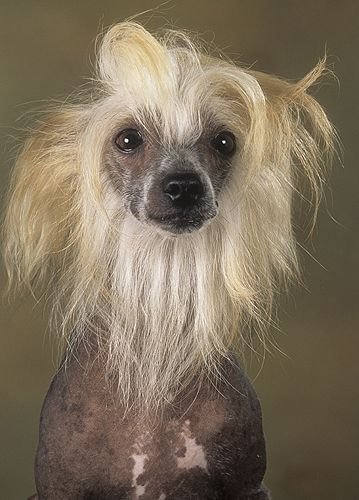 Chinese Crested Hairless Doggy