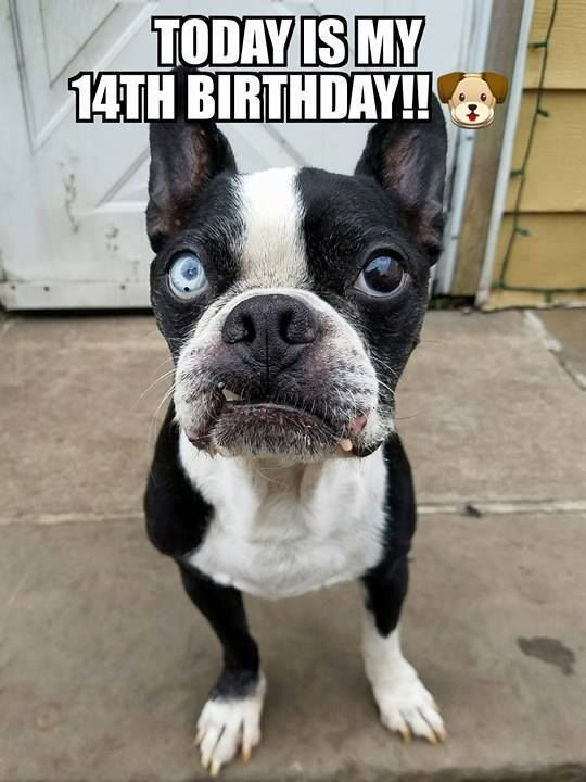 Chase wanted everyone to know he's 14 today! Wish him Happy Birthday! https://www.facebook.com/bterrierdogs/