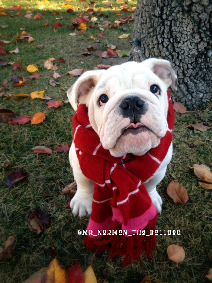 English Bulldog Puppy <3