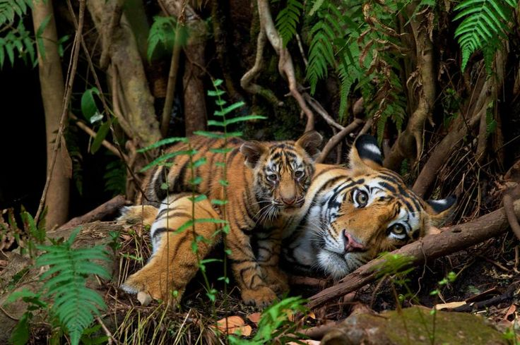 """A tigress rests with her cub in India's Bandhavgarh National Park. Steve Winter who took the photo said """"This is one of those moments in my career where I checked the back of my camera and cried,"""" PHOTO BY Steve Winter NatGeo Wildlife + Conservation Photojournalist https://www.instagram.com/stevewinterphoto/"""