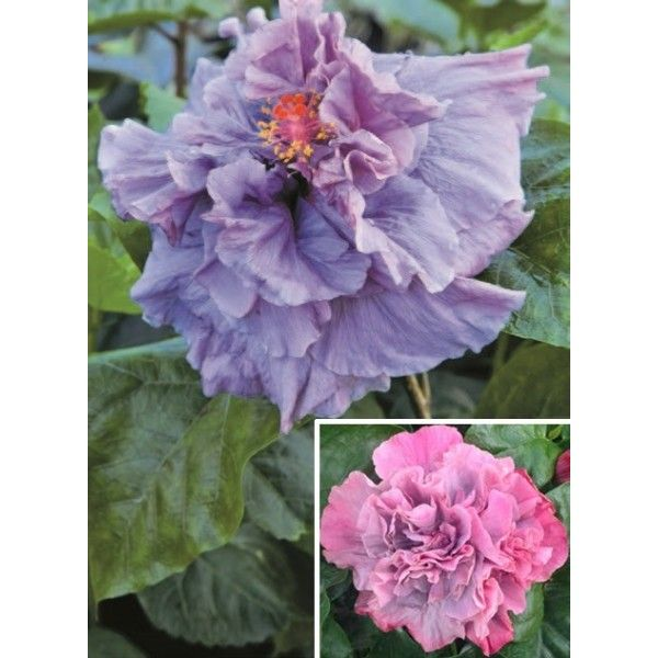 Hibiscus 'Bayou Rose' (Hibiscus rosa- sinensis hybrid) a flower with chameleon qualities. The 1st day blooms are lavender with ruffle pink edge, then change the very next day