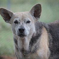 Pictures of Betty a senior German Shepherd Dog/Beagle Mix for adoption at Born Free Pet Shelter, Key Biscayne, FL who needs a loving home.