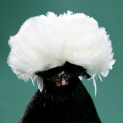Chicken Breeds - Polish. Why do the Polish chickens have to look insane?
