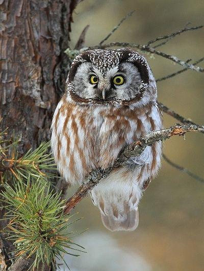sweetlysurreal:  Boreal Owl  http://aquieterstorm.tumblr.com/post/48977676947/sweetlysurreal-boreal-owl