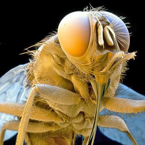 Mosca Tsé-tsé //Pequenos monstros: imagens de microscopia eletrônica | Diário de Biologia