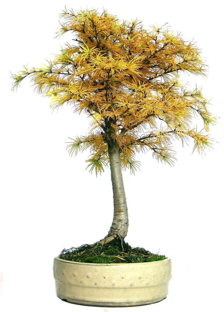 87 best bonsai art images on pinterest bonsai art. Black Bedroom Furniture Sets. Home Design Ideas
