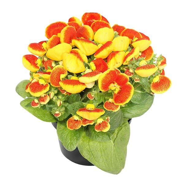Monedero planta de sombra riego 2 veces por semana - Flores de sombra ...