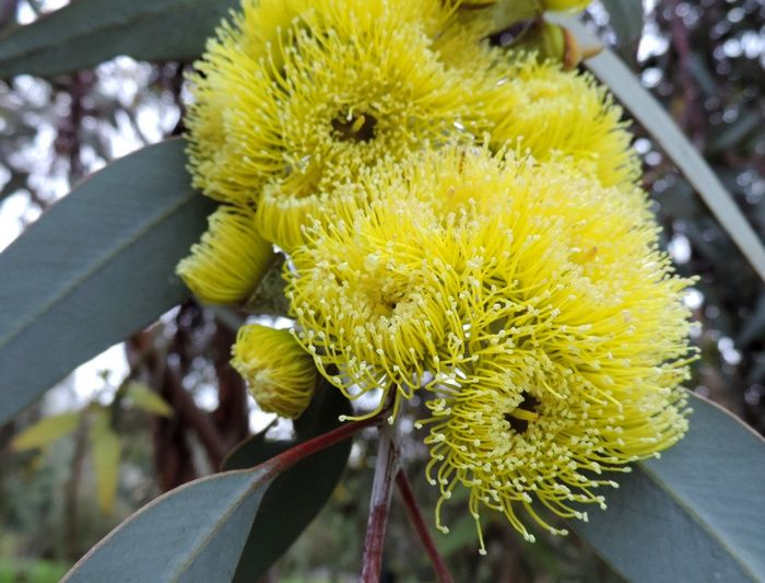 Eucalyptus - yellow flowers - Oaklands Park, South Australia. Photograph by Liz Powley - Gumnut Inspired -http://www.gumnut.net