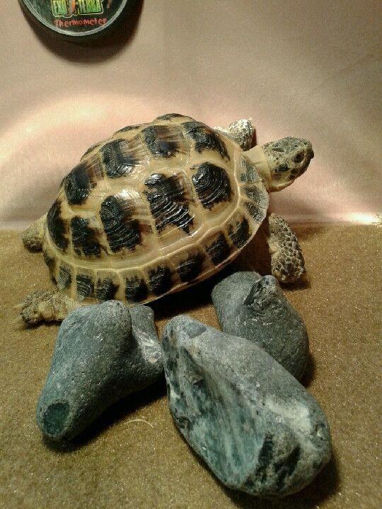 His shell glistening with health     #tortoise | Raising