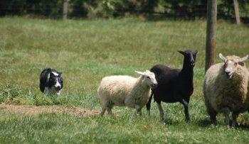 Perros Ovejeros – Clasificación http://www.mascotadomestica.com/razas-perros/perros-ovejeros-clasificacion.html
