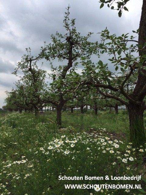 Voor karakteristieke oude fruitbomen, notenbomen en laan- en sierbomen bent u bij ons aan het goede adres! We hebben oa prachtige oude perenbomen beschikbaar! Dit zijn Saint Remy (stoofperen) uit ons assortiment van ca. 35 jaar oud.