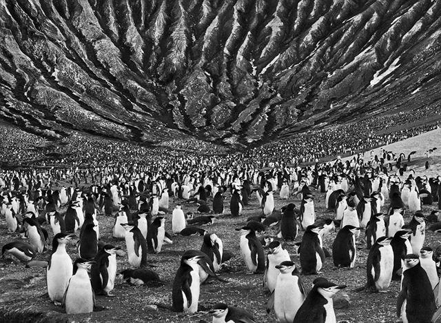 セバスチャン・サルガド- 活火山の近くに群れなすヒゲペンギン, ウスサンドウィッチ諸島 2009.