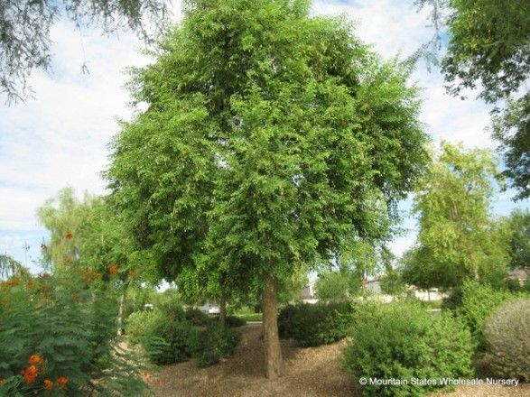 17 Best Images About Shade Trees On Pinterest Trees Ash