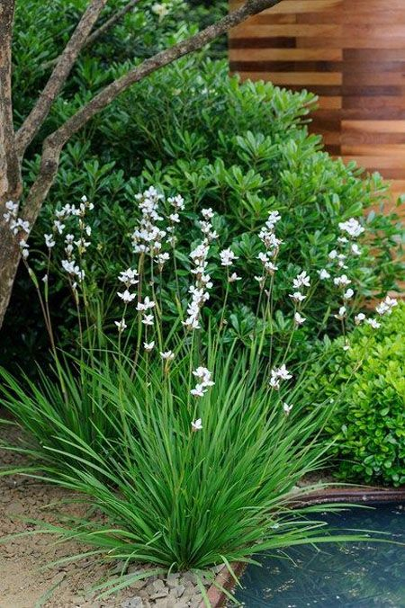 Libertia Chilensis makes soft green grassy mounds with airy flower stalks May-July, ht to 90cm.  Will self-seed if it likes you!