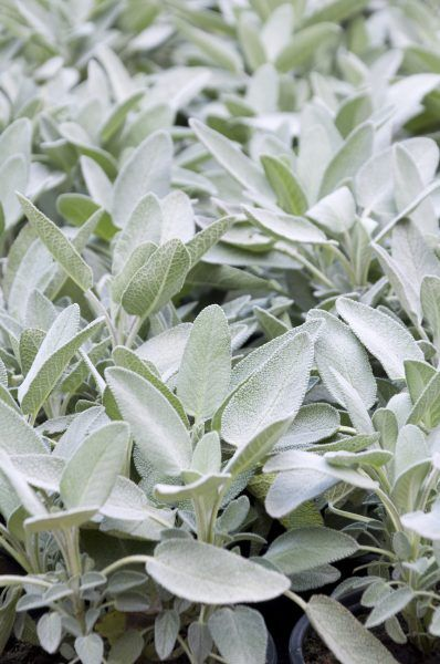Sage Plants For Gardens: Learn About Different Types Of Sage -  There are many different types of sage. Some are culinary, some have medicinal properties and some are grown purely for ornamental purposes. All of these sage plants work well for gardens. Find out about sage plant varieties and their uses in this article.