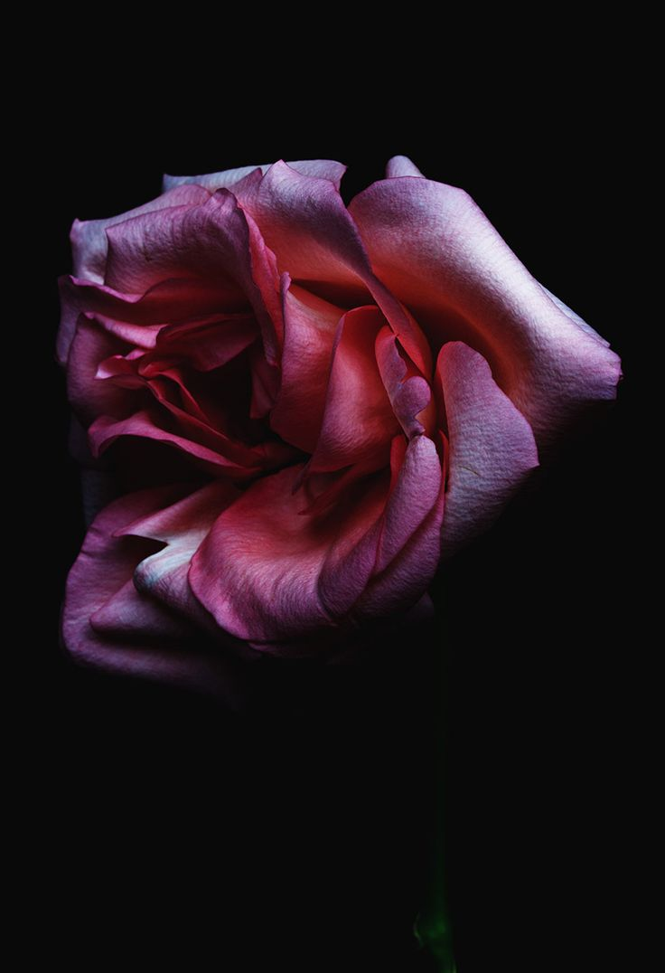 beauty on the brink of death. photos of dying flowers shot by Billy Kidd