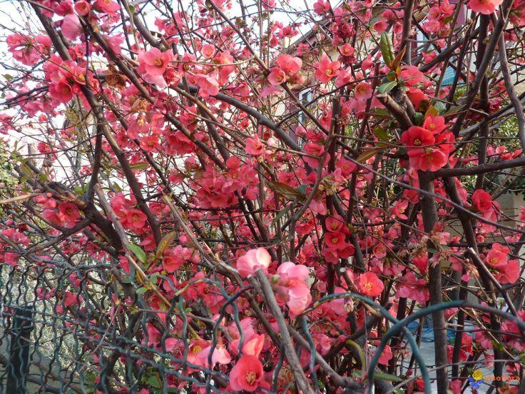 chaenomeles japonica   chaenomeles japonica
