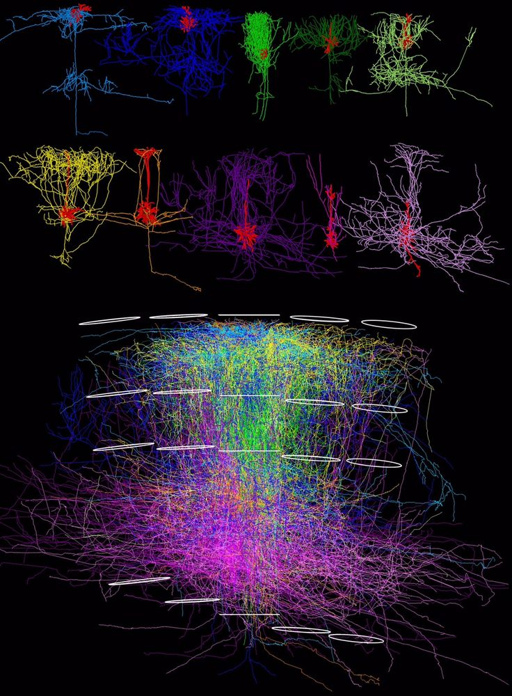 3D reconstruction of neuronal networks uncovers hidden organizational principles of sensory cortex   Most cortical circuitry interconnects neurons across cortical columns, rather than within [Neuroscience News: http://futuristicnews.com/tag/brain/ Neuroscience Books: http://futuristicshop.com/category/neuroscience-books-neurotechnology-books/]
