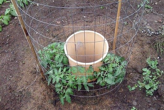 Living on less: Crazy way to grow a bumper tomato crop