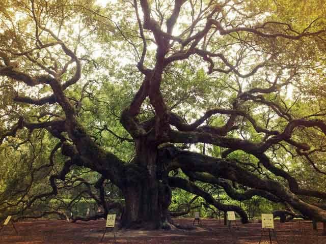Melek Meşe Ağacı - Güney Carolina