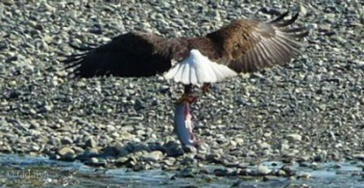 Eagle is fishing in Alaska, right in front of the cabin, picture is taken from the breakfast table. Visit us to experience sustainable living and gourmet adventure