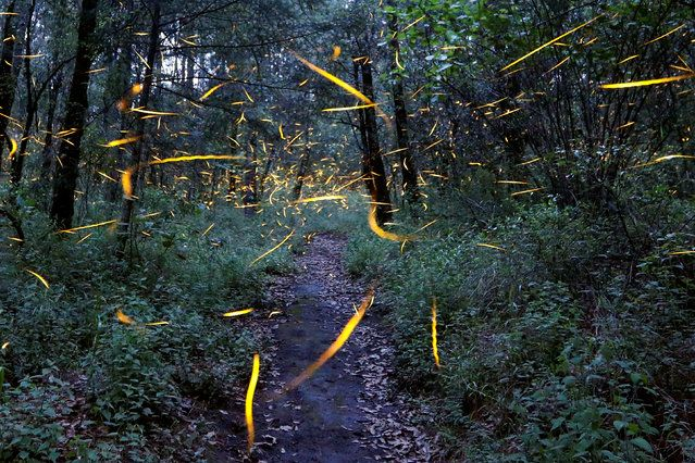 Fireflies seeking mates light up in synchronised bursts inside a forest at Santa Clara sanctuary near the town of Nanacamilpa, Tlaxcala state, Mexico, July 24, 2017. (Photo by Edgard Garrido/Reuters)