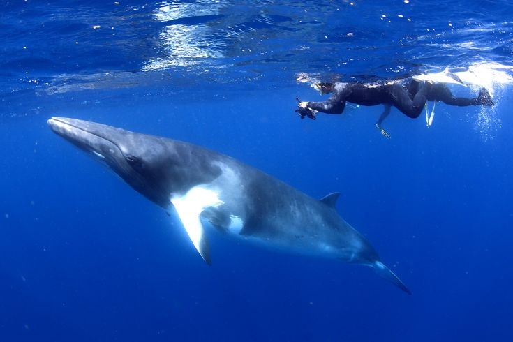 Swim with Whales on the Great Barrier Reef  http://bit.ly/2ENI8lO?utm_content=bufferfe17e&utm_medium=social&utm_source=pinterest.com&utm_campaign=buffer