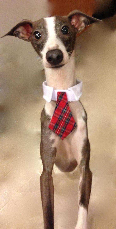 Italian Greyhound Queen Victoria 「I Love greyhound &a...