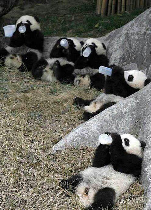 Pandas -- Bottle babies :)