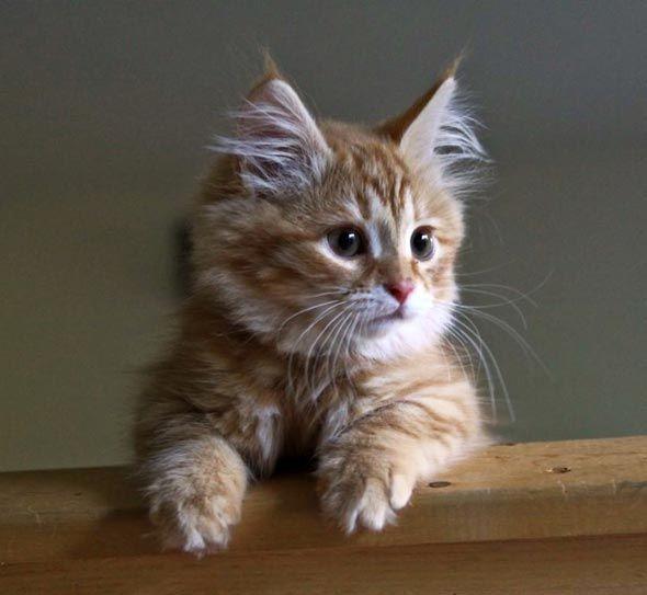 113 best Siberian Forest Cat images on Pinterest