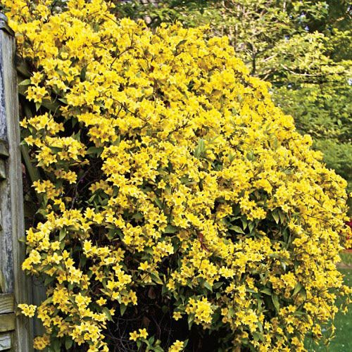 Vines - Hardy Carolina Jasmine