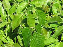 Poison Ivy: Toxicodendron radicans - Wikipedia, the free encyclopedia