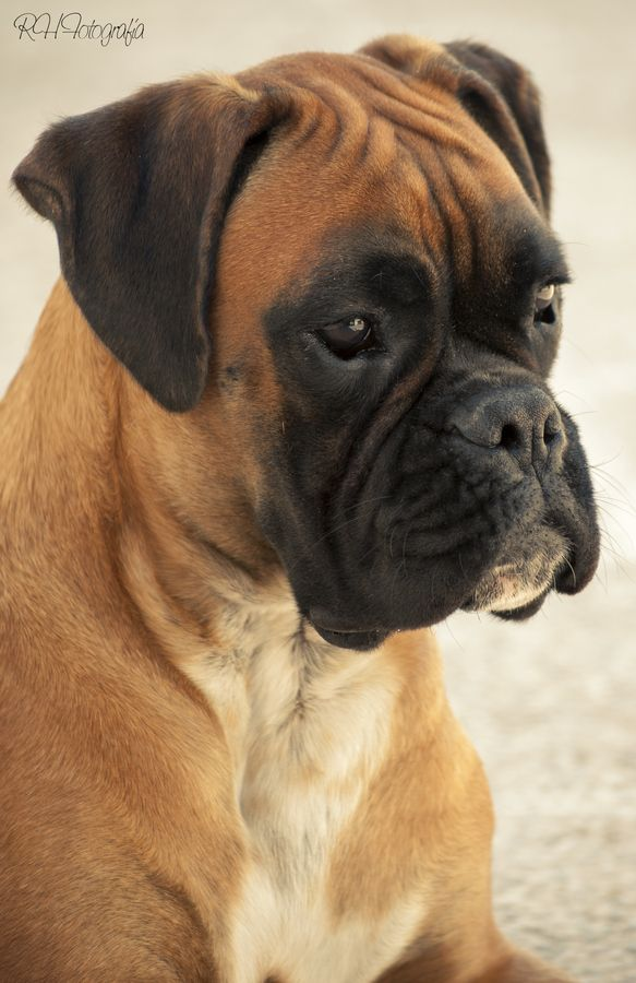 I love Boxers. What's not to love about that face? (Delsey Bleu Baron, I still miss you, you good dog, you!)