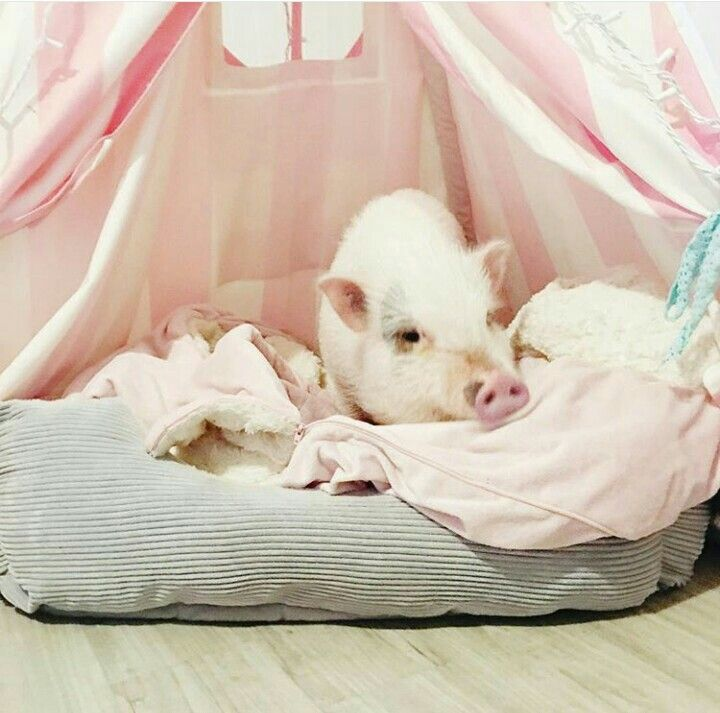 17 Best images about PIGS...REAL on Pinterest | Cookie ...